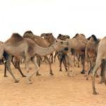 Camel Caravan in Southern Egypt