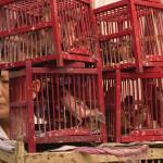 Merit Birds For Sale, Bangkok, Thailand