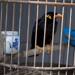 Caged Myna Near Houhai Lake, Beijing
