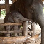 Mother and Baby Elephant at The Elephant Conservation Center in Lamphang Province, Thailand