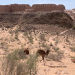 Camels at Ayaz Qala in Khorezm, Uzbekistan